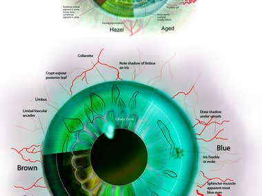 Medical Illustration of Iris