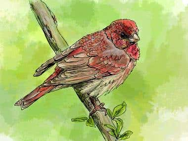 Little Rosefinch