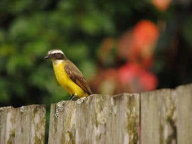 Bird Of Brazil