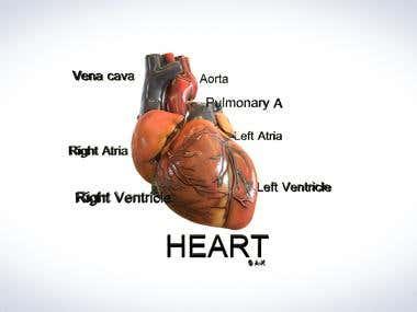 3D heart model