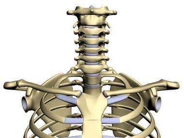 3d skeleton (thorax and spine only)