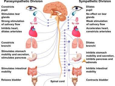 Autonomic Nervous System Diagram