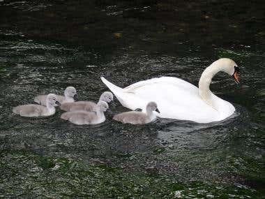Swan Family, Bibury, England