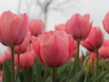 Tulip Contest