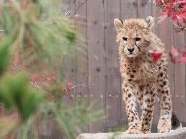 Young Cheetah (Natural Light) 3