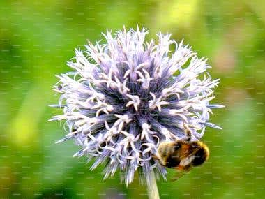 Photography: Flower and Bee