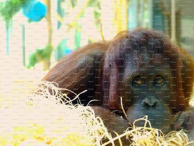 Photography: Orangutan