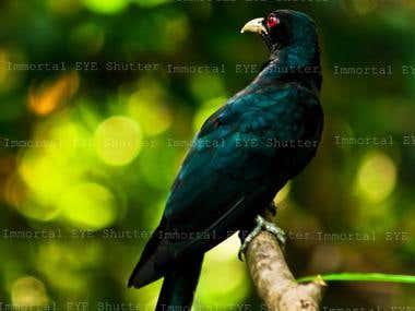 The Cukkoo Bird