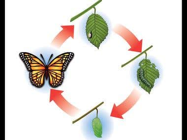 buterfly life cycle