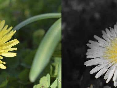 Before and After Dandelion