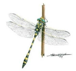 Dragonflies of Egypt