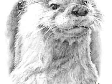 Otter pencil drawing