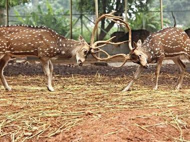 Chital|Strength lies in their horns