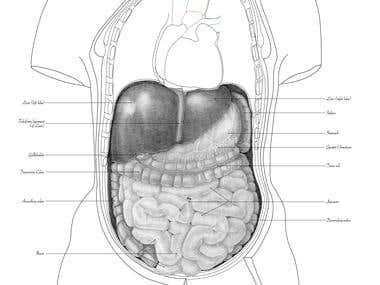 Abdominal illustration