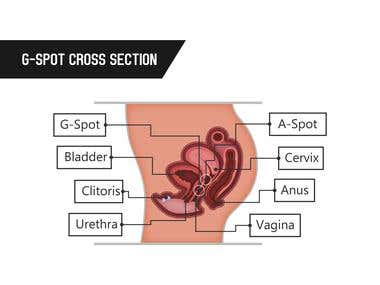 G spot Cross Section Infographic
