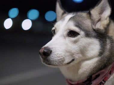 Siberian Husky - Arya