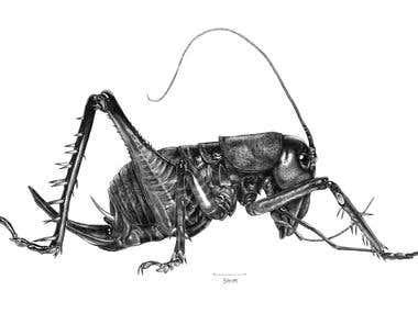 King Cricket Illustration