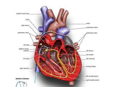 Heart Electrical System Illustration.