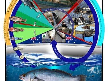 Mulloway Aquaculture Poster.