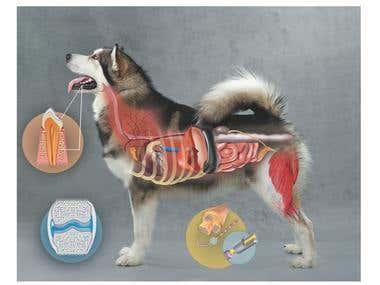Diseño de la Anatomía Topográfica de un Perro