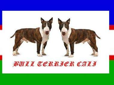 Bull Terrier Cali