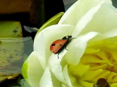 Ladybug Animation