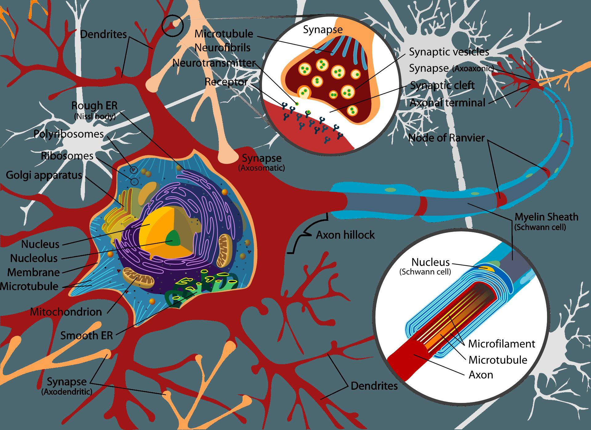 Nerve cell - neuron (presentation)