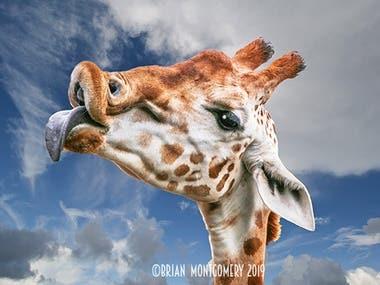 Giraffe with new sky