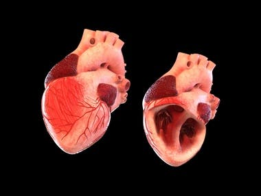 Heart model animated