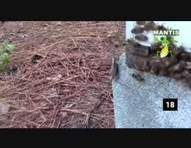 #10 for Create a youtube VIDEO  --------  100 Praying MANTIS attacks in 2 minutes by IftekharSadat