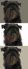 #17 for Affenpinscher dog converted to Pop Art by edumari