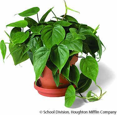 Комнатные растения - Каталог - Филодендрон - Philodendron ...