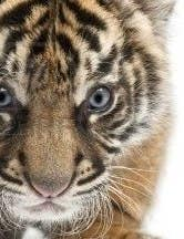 8210974-sumatran-tiger-cub-panthera-tigris-sumatrae-3-weeks-old-in-front-of-white-background.jpg