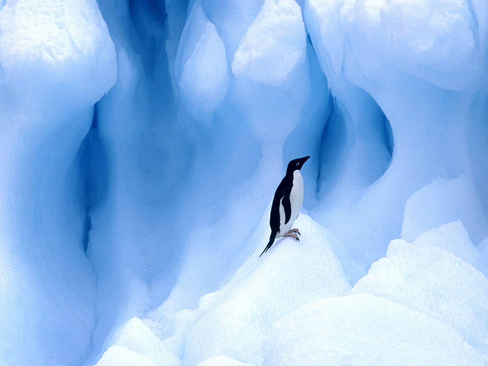 Adelie Penguin, South Shetland Islands, Antarctic Peninsula.jpg